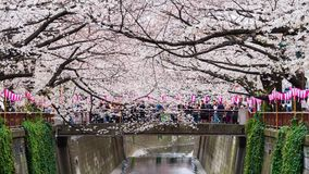 Time lapse of Cherry blossom festival in full bloom at Meguro River. Meguro River is one of the best place to enjoy it, Tokyo, Jap. TOKYO, JAPAN - MARCH 29, 2019 stock footage