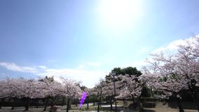 Time lapse panorama Cherry blossoms or Sakura in full bloom at Takarano park. Tokyo, Japan-March 30, 2018: Time lapsepanoramaCherry blossoms or Sakura in full stock footage
