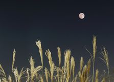 The full moon and silver grass in autumn, which is a scene that makes Japanese people feel nostalgic. Tokyo,Japan-November 22, 2018: The full moon and silver stock photos