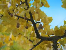 Ginkgo tree and fully-ripened Ginkgo nuts in the morning royalty free stock photography