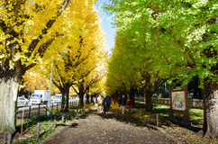 Tokyo, Japan - November 26, 2013: People visit Ginkgo Tree Avenue heading down to the Meiji Memorial Picture Gallery Stock Images