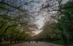 TOKYO, JAPAN - OCTOBER 30,2015: Ueno Park in autumn, the day wit. Hout SAKURA Royalty Free Stock Image