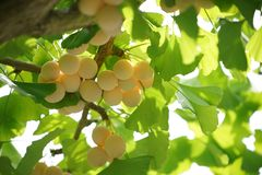 Ginkgo tree with Ginkgo nuts. Tokyo,Japan-September 11, 2017: Ginkgo nuts have become big, but still immature Royalty Free Stock Images