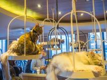 TOKYO, JAPON - 17 JUILLET 2017 : Personnes non identifiées prenant les photos des petits chats, chatons de race à vendre dans un  Photos stock