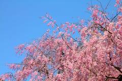 Tokyo körsbärsröd blomning Royaltyfria Foton