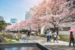 TOKYO MIDTOWN, JAPAN - APRIL 1ST: Vårsakura körsbärsröda blomningar Arkivbilder