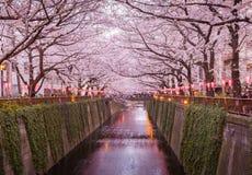 Tokyo sakura cherry blossom Royalty Free Stock Photo