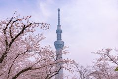 Tokyo Skytree Tower with cherry blossoms in full bloom at Sumida Park. Asakusa Sumida Park cherry blossom festival. In springtime, Sumida River is surrounded by stock image