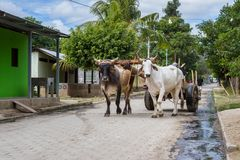 Simple life in Nicaragua, 2018. Tola, Nicaragua - January 20: Rural streets in Nicaragua with a pair of Ox strapped to a cart in the middle of the road. January Royalty Free Stock Image