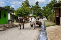 Simple life in Nicaragua, 2018. Tola, Nicaragua - January 20: Rural streets in Nicaragua with a pair of Ox strapped to a cart in the middle of the road. January Royalty Free Stock Photos