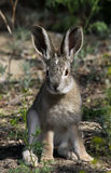 Tolai hare Stock Photos