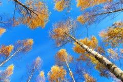 Toldo de árbol de los árboles de abedul Imagen de archivo