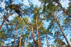 Toldo de árbol de pino escocés con el cielo azul Foto de archivo