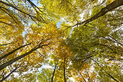 Toldo de árboles de abedul con follaje amarillo Fotografía de archivo
