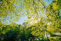 Toldo de la primavera del árbol Bosque de hojas caducas, naturaleza del verano en Sunny Day Fotografía de archivo