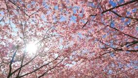 Toldo de las flores de cerezo con el sol almacen de video