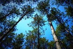 Toldo de los árboles de pino Fotografía de archivo
