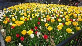 Tolep fiorisce il tacchino di yalova della via Immagine Stock Libera da Diritti