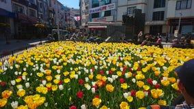 Tolep fleurit la dinde de yalova de rue Photo stock