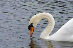 Tolerancia de un cisne Fotografía de archivo libre de regalías