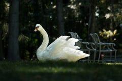 Tolerancia del cisne Foto de archivo libre de regalías