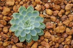 Tolerant växt för suckulent utkast, Echeveria bland i Rocky Planting Bed royaltyfri foto
