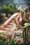 Tolerant växt för torka i trädgården, suckulent, tolerant växt för torka fotografering för bildbyråer