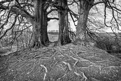 Tolkien's trees at Avebury, England Stock Photography
