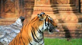 De tong van de tijger Stock Afbeeldingen