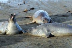 Tollende Seelefanten Lizenzfreie Stockfotografie