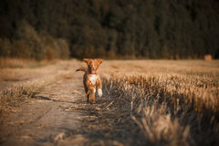 Toller puppy dog in a field at sunset royalty free stock photography