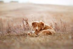Toller puppy outdoors cute Stock Photos
