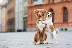 Toller und Steckfassungsrussell-Terrier verfolgt die Aufstellung in der Stadt Stockfoto