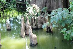 Toltec kullar - cypressknä Fotografering för Bildbyråer