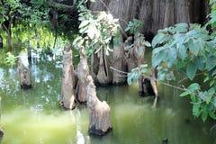 Toltec kullar - cypressknä Royaltyfri Foto