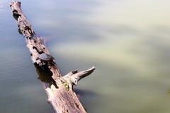 Toltec kullar - sköldpadda på en journal Arkivfoton