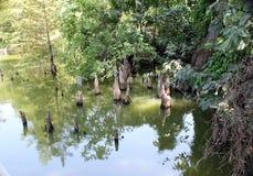 Toltec Mounds - Cypress Knees. Stock Photo