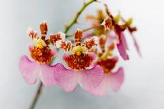 Tolumnia buitensporige bloem, Gesloten omhoog orchidee Royalty-vrije Stock Afbeelding