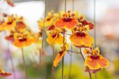 Tolumnia Culture Orchid. Beautiful Tolumnia Culture  orchid in Thailand,Close up of beautiful orchid.,Oncidium Orchid Flowers Royalty Free Stock Image