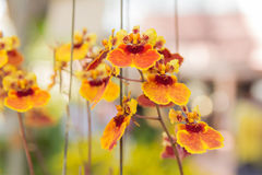 Tolumnia Culture Orchid. Beautiful Tolumnia Culture  orchid in Thailand,Close up of beautiful orchid.,Oncidium Orchid Flowers Stock Image