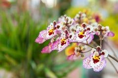 Tolumnia Culture Orchid. Beautiful Tolumnia Culture  orchid in Thailand,Close up of beautiful orchid.,Oncidium Orchid Flowers Stock Photo