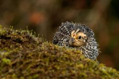 Tolv dagar gammal vaktel, Coturnixjaponica fotograferat i natur arkivbild