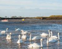 Tolv swans på Hullbridge Royaltyfria Foton