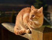 Tom πιπεροριζών γάτα Στοκ φωτογραφία με δικαίωμα ελεύθερης χρήσης