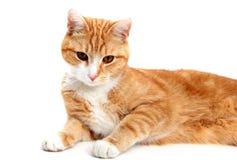 Tom cat Stock Photos