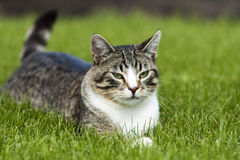 Tom Cat Royalty Free Stock Photography
