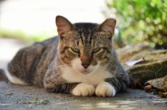 Tom cat resting. Tom cat is resting in the shade outdoors Stock Photography