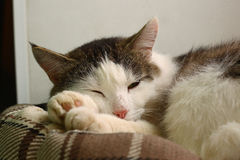 tom cat sleep in pet bed close-up photo Royalty Free Stock Images