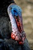 Tom die Türkei Stockbilder