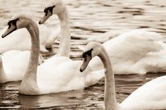 Tom do sepia das cisnes foto de stock royalty free